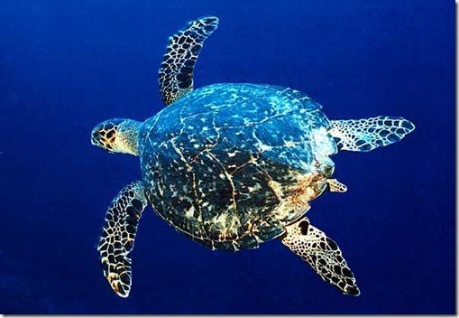 hawksbill-turtle .- internet