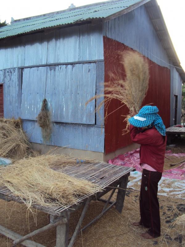 Die Reisgarben (heißt das so?) müssen geschlagen werden, damit die Körner rausfallen. Harte Arbeit.