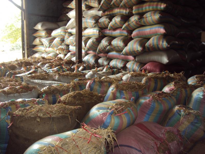 Reis, der geschält werden will. In der kleinen Reisfabrik.