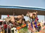 Pushkar - Kamelmarkt - Kamele