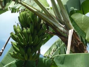 Bananen frisch von der Palme