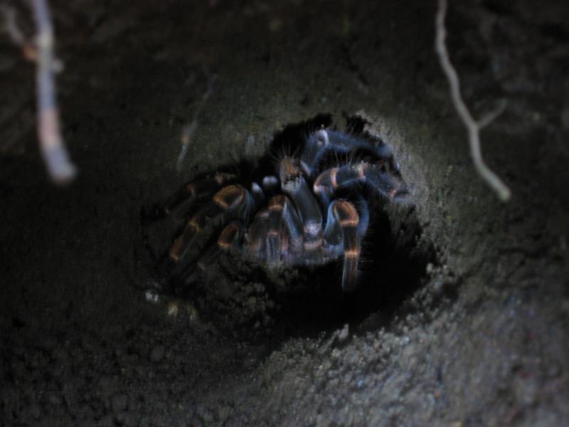 Eine handgroße Tarantel in ihrem Erdloch