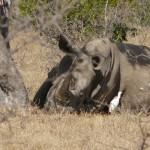 Breitmaulnashorn im Krüger Nationalpark