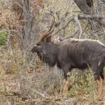 Nyala - gibts nur im Norden des Krügerparks