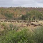 Makuleke Buffalos