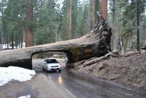 Unterm Sequoia durch