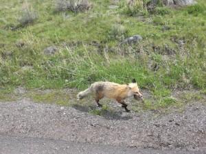 Ein Fuchs mit Beute