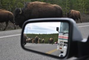 Bisons marschieren am AUto vorbei