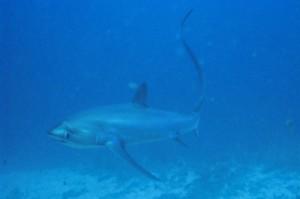 Tresher Sharks vor Malapascua