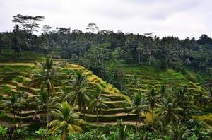 Reisterrassen von Tegalalang in der Nähe von Ubud