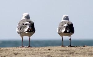 Californian Gull
