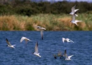Least Tern, die ganz seltenen kleinen Verwandten der Royal Tern