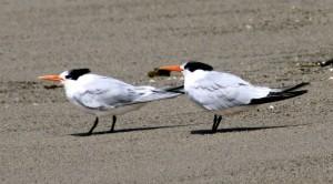 2 Royal Tern, wahrscheinlich Mutter & Kind