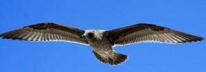 diese junge Herings-Gull hat Klaus ganz in Ruhe von oben betrachtet