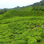 Cameron Highlands20