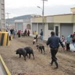 ein Bauer auf dem Weg zum Markt in Otavalo
