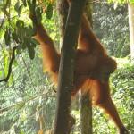 niedliche Orang-Utan Dame