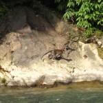 lustige Äffchen am Fluß