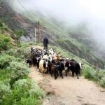 Ziegenherde auf dem Trek