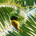 Route 62 – Amber Lagoon- Maskierter Webervogel