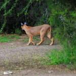 Karoo Nationalpark – Karakal