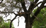 Krüger Park – Leopard