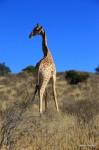 Im Kgalagadi Transfrontier Park – Giraffe