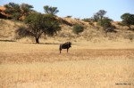 Im Kgalagadi Transfrontier Park – Gnu