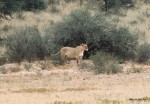 Im Kgalagadi Transfrontier Park – Die Löwen