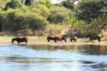 Flusspferde – Okavangodelta