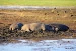 Chobe River – Hippos